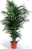 Die schönste Zimmerpalme der Welt ! Howea Forsteriana 'Kentia Palme' Anspruchslos von jedermann zu pflegen 1 Pflanze 150-160cm.