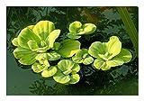 ZAC Wagner 6 Stück Muschelblumen (Pistia stratiotes) - Teichpflanzen Teichpflanze Schwimmpflanze