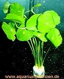 Mühlan Wasserpflanzen 1 Bund Hydrocotyle verticillata, Hutpilzpflanze