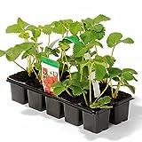 Müllers Grüner Garten Shop Erdbeere Sorte Honeoye, Erdbeerpflanze, frühe Reifezeit, aromatisch u. hoher Ertrag, im 10er Tray