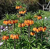Kaiserkrone Aurora - Fritillaria imperalis