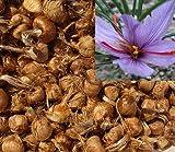 3 Stücke Safran Zwiebeln (Crocus Sativus) - Pflanzen Sie Ihren eigenen Safranpflanze, und sammeln Sie Ihre Safranfäden