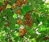 Dehner Kiwi Issai, essbare grüne Schale, ca. 30-40 cm, Obstpflanze