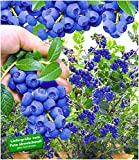 BALDUR Garten Trauben-Heidelbeere 'Reka® Blue', 1 Pflanze, Blaubeeren Heidelbeeren Pflanze, Vaccinium corymbosum reichtragend