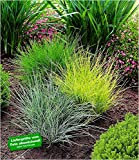 BALDUR Garten Gräser-Trio 3 Pflanzen Ziergräser Festuca glauca Elijah Blue, Festuca gautieri, Milium effusum Aureum winterhart