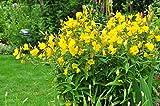 Nachtkerze Oenothera biennis 1000 Samen