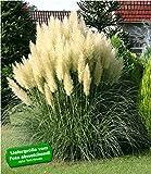 BALDUR-Garten Pampasgras'Evita';1 Pflanze