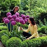 Keptei Samenhaus- Blumenzwiebeln Samen Riesen Zierlauch (Allium giganteum) schöne und Große geblümte Scallion Seeds winterhart mehrjährig