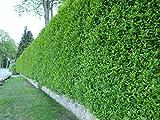 Wintergrüner Liguster Atrovirens - Ligustrum vulgare als Ligusterhecke - schnellwachsend pflegeleicht robust immergrün - Heckenpflanze von Garten Schlüter - geliefert im 1,3 Liter Container