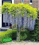 BALDUR-Garten Blauregen auf Stamm winterhartes Stämmchen, 1 Pflanze Wisteria sinensis Glycinie Zierstämmchen