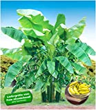 BALDUR Garten Winterharte Bananen 'grün', 1 Pflanze Faserbanane Bananenbaum Musa basjoo Bananenpflanze