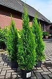 Smaragd Lebensbaum Thuja occidentalis Smaragd 100 - 125 cm hoch im 5 Liter Pflanzcontainer