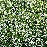 Future Exotics Trachelospermum jasminoides Jasmin Blütenduft winterhart 25-35 cm, 4 Stück