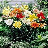 Tigerlilien Mischung - 3 blumenzwiebeln