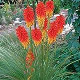 lichtnelke - Fackellilie (Kniphofia PAPAYA POPSICLE)