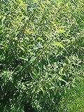 Brennessel 250 Samen