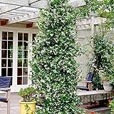Sternjasmin (Immergrün, Weiβ, Duftend & Winterhart) - 1,5 Liter Topf - Wintergrün -Jasmin | ClematisOnline Kletterpflanzen