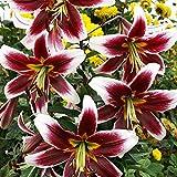 1x Lilien Zwiebel Gartenpflanzen Blühende pflanzen Weiße Burgunder Baumlilie Judith Saffinga