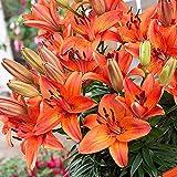 1x Lilien zwiebel Blühende pflanzen Lilien zwiebel orange Blumenzwiebeln mehrjährig Lilien winterhart Freilandpflanzen Zwerg asiatische Lilie Abbeville's Pride