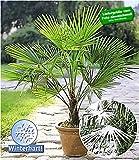 BALDUR-Garten Winterharte Kübel-Palmen Chinesische Hanfpalme Freilandpalme Gartenpalme, 1 Pflanze, Trachycarpus fortunei frosthart