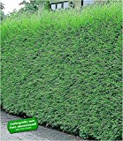 BALDUR-Garten Immergrün Leyland-Zypressen-Hecke, 1 Pflanze grüne Baumzypresse, Riesenzypresse, Cupressocyparis leylandii