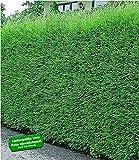 BALDUR Garten Immergrün Leyland-Zypressen-Hecke, 1 Pflanze grüne Baumzypresse, Riesenzypresse, Cupressocyparis leylandii